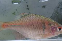 ニッポンバラタナゴ Rhodeus ocellatus kurumeus