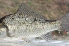 ゲンゴロウブナ Carassius cuvieri