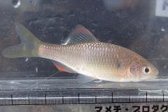 ヤリタナゴ Tanakia lanceolata